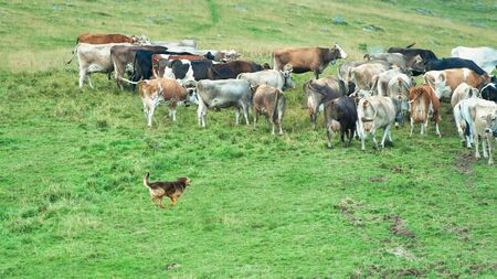 Shepherd dog in action with a group of alpine cows