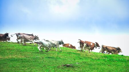 Group of cows running downhill on a mountain meadow Stok Fotoğraf