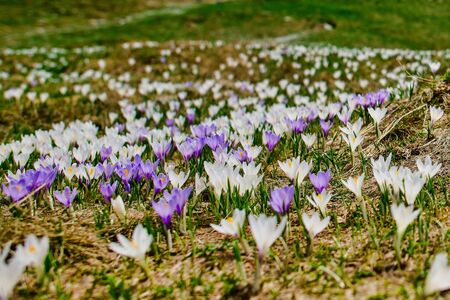 Crocus flowers shortly after the snow leaves room for the spring meadow in the mountains