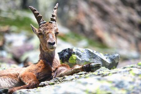 Ibex female resting crouching on stones in early summer
