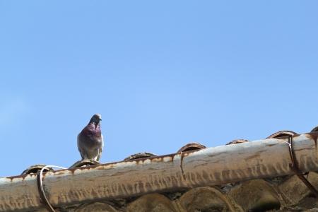pidgeon: Pidgeon on the roof