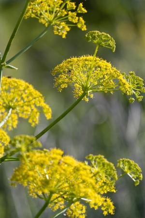 fennel seeds: wild fennel
