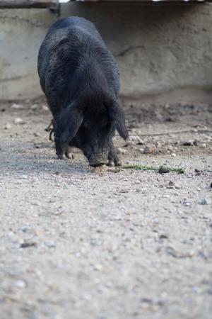 Black pig photo