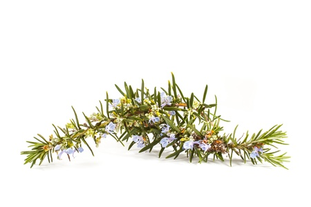 officinalis: Blossoming twigs of rosemary Rosmarinus officinalis  plant isolated on white background Stock Photo