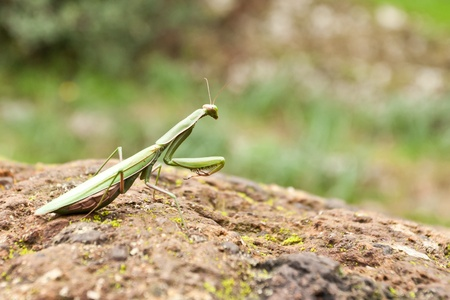 european mantis: Mantis religiosa (European Mantis) on a tuff (Italy).