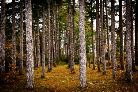 Forest of aligned pines in winter, Tuscany (Italy). Stock Photo - 11951091