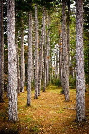 Forest of igazítva fenyők télen, Toszkána (Olaszország).
