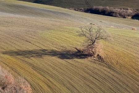 Lonely oak tree in the Tuscan countryside, Italy. Stock Photo - 12124713