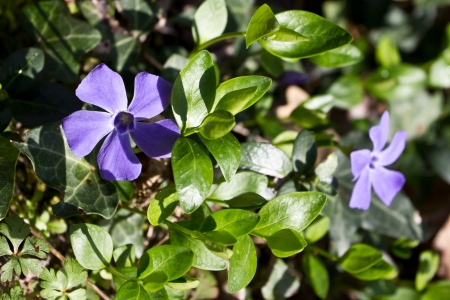 Vinca minor is a plant native to central and southern Europe