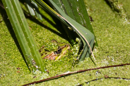 Frog s head sticking out from a pond full of vegetation, Tuscany, Italy  Stock Photo - 13991675