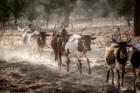 Cows grazing in the dust near Bandiagara Escarpment, Mali, Africa