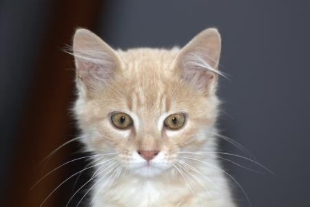 A hazai vörös macska a sötét háttér.
