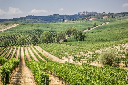 Vineyard in the area of production of Vino Nobile, Montepulciano, Tuscany, Italy Stock Photo