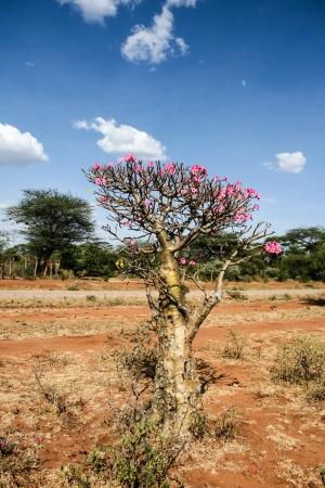 Desert Rose plant in bloom, Ethiopia, Africa