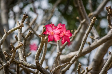 Flowers on bare branches of the rare Desert Rose, Ethiopia, Africa