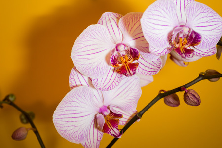 Three pink-purple orchid flowers