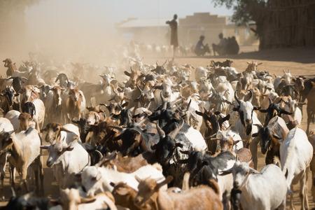 muddle: Herd of goats walking on a dusty road near Turmi, Ethiopia