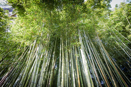 Dense bamboo canes in the Garden of Ninfa in the province of Latina, Italy, Europe. Banque d'images