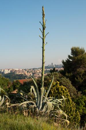 thorn tip: succulent