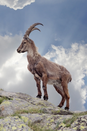 ibex ram: Steinbock in the italian alps