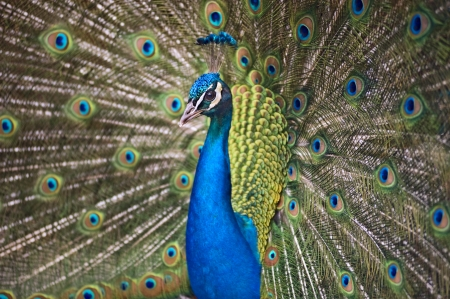 Colorful peacock shows itself in a love dance photo