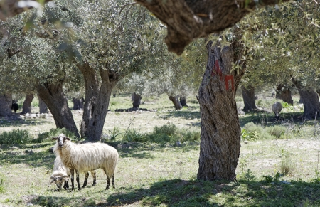 Sheep and olives on the Rhodos island photo