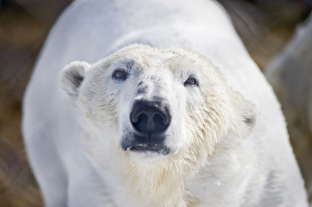 Polar bear in its territory  photo