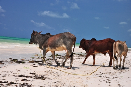cows and sea of zanzibar Stock Photo