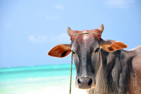 cows and sea of zanzibar Stock Photo