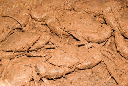 of mud crabs in madagascar nosy be photo
