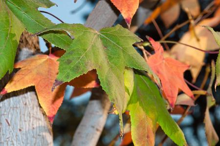 the beautiful colored leaves of autumn season