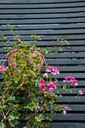 pink geranium hanged up on a wooden wall Stock Photo