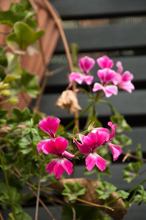 pink geranium hanged up on a wooden wall photo