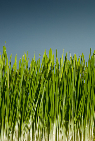gorgeous green homemade wheatgrass growing up and almost ready to be harvest