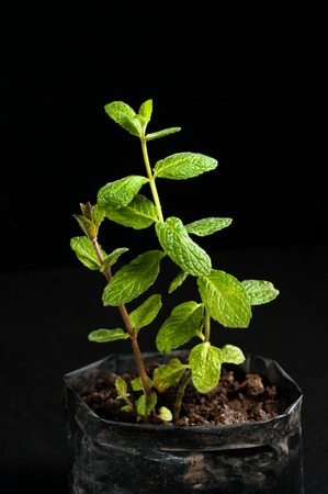 green mint plant against a black background Stock Photo