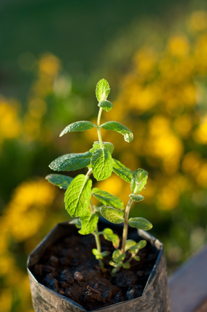 one of the most antioxidant plant ready to use