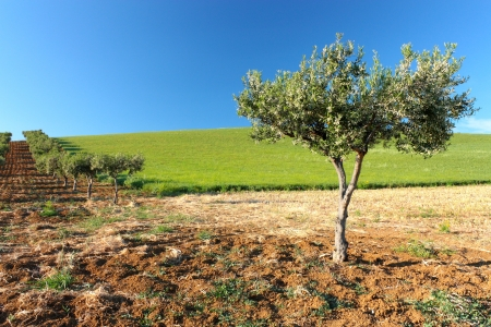 Olive tree on a green field 2