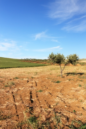 An olive tree alone, against the backdrop of a hill and the blue sky