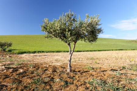 Olive tree on a green field Stock Photo