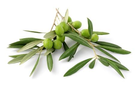 rama de olivo: Verde oliva 3 ramitas y Foto de archivo
