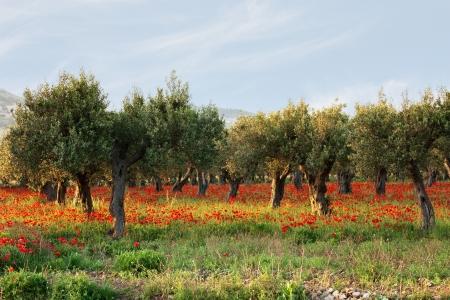 Olivenbäume auf einem Teppich von Mohn 2 Standard-Bild