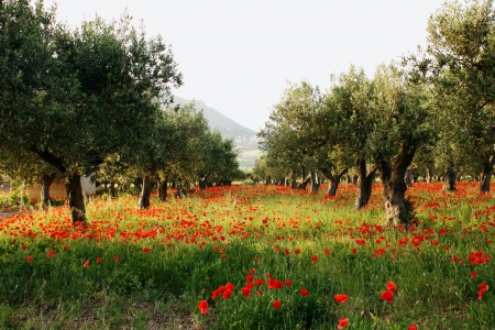 poppy field: Olive trees on a carpet of poppies