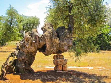 Secular olive tree, Puglia, Italy