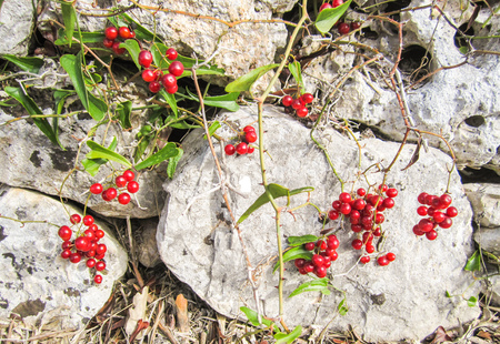 Red berries on the old dry stone wall