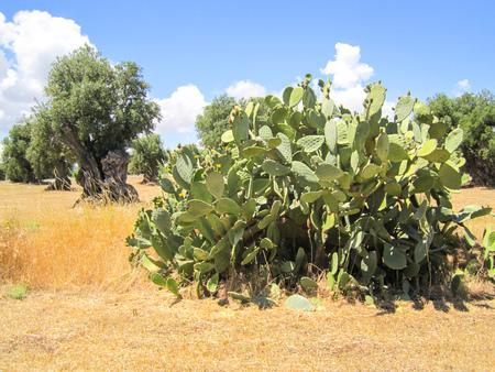 Prickly pear cactus and olive tree Archivio Fotografico