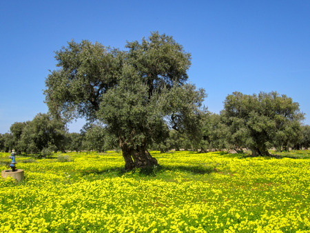 Old olives with yellow flowers and green grass Stock fotó