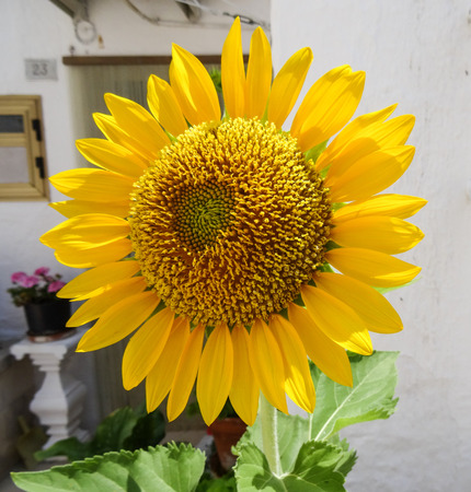Sunflower on white stone wall Stock Photo