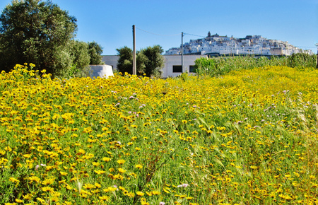 Yellow flowers field with Ostuni on background