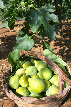 Fresh green figs with green leaves in a wicker basket under a tree Foto de archivo - 133570904