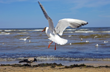 Beautiful black-headed seagull in flight with spread wings landing on the beach and searching for food